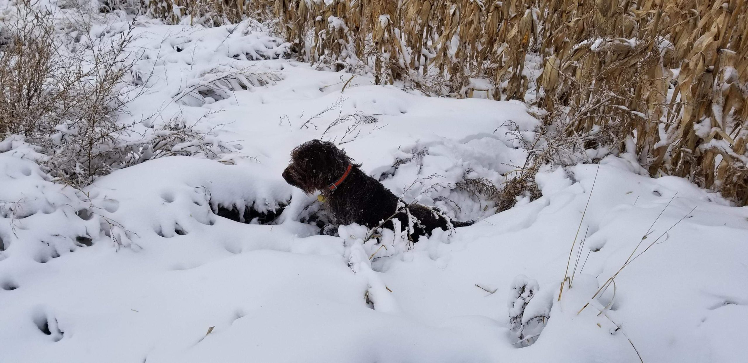 American Wirehaired Pointing Griffons   Puppies-for-sale